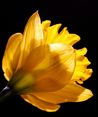 Daffodil. (Brenda-Starr) Tags: flower macro nature floral yellow canon flora quality flowerthemes daffodil canon350d ef100mmf28 canonrebel babel excellence fantasticflowers july2006 abigfave