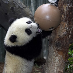 Su Lin playing with a large toy (kjdrill) Tags: china california bear baby station giant toy zoo cub stand infant panda sandiego bears chinese lookup research sandiegozoo pandas mouthopen endangeredspecies sdzoo sulin