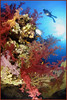soft coral in red sea (Fiona Ayerst) Tags: pink flowers blue red sea portrait orange fish color colour coral model colorful soft underwater little patterns redsea egypt deep torch sunburst diver colourful transparent polyps brightcolours softcoral fleshy florets rasmohammed d100nikon closeupwideangle verycolourful verticalanimal 90seaseastrobes southernsinai diverandtorch diversilhouette