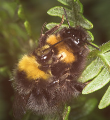 """Bees Mating(1) • <a style=""""font-size:0.8em;"""" href=""""http://www.flickr.com/photos/57024565@N00/205835901/"""" target=""""_blank"""">View on Flickr</a>"""