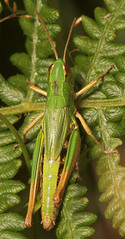 "Meadow Grasshopper (chorthippus brunneus) • <a style=""font-size:0.8em;"" href=""http://www.flickr.com/photos/57024565@N00/205839872/"" target=""_blank"">View on Flickr</a>"