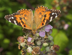 """Painted Lady Butterfly (vanessa cardu(4) • <a style=""""font-size:0.8em;"""" href=""""http://www.flickr.com/photos/57024565@N00/207181339/"""" target=""""_blank"""">View on Flickr</a>"""