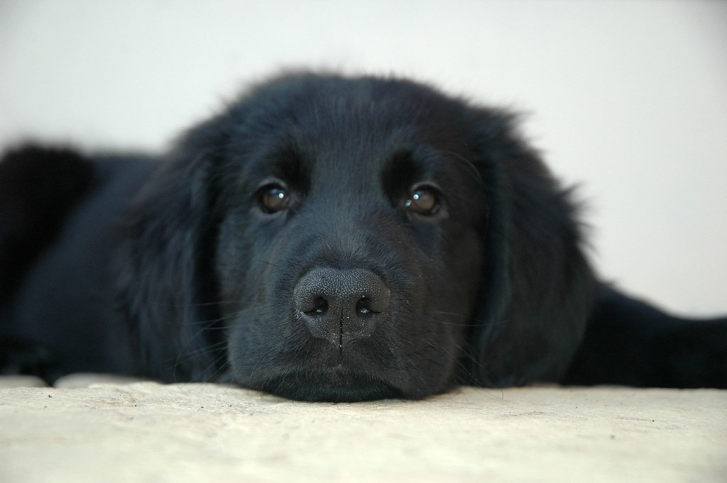 Flat Nosed Dog Breed http://www.imagejuicy.com/images/dog-breeds/f/flat-coated-retriever/9/
