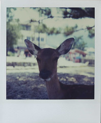 a half-asleep deer (Issey*) Tags: japan polaroid sx70 hiroshima deer miyajima