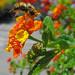 Bumblebee Jump