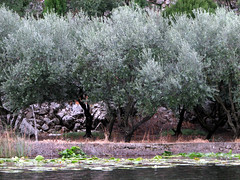 Olive Trees (The Pack) Tags: trees river croatia delta orchard olives neretva thepack:a=1