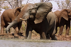 Elephant colours (Wildcaster) Tags: africa elephant nature wildlife dumbo conservation safari zimbabwe jumbo tusks africanelephant southernafrica tusker cites loxodontaafricana africanwildlife phylumchordata malilangwe kingdomanimalia classmammalia wildlifeconservation specanimal wildcasting greatlimpopotransfrontierpark wildlifedocumentary wildlifefilms wildlifeeducation gameranging gonarezhou orderproboscidea familyelephantidae genusloxodonta wildcastselect