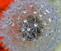 Drops on dandelion (!.Keesssss.!) Tags: nature water netherlands horizontal outdoors photography day nopeople drop dandelion extremecloseup freshness gettyimages selectivefocus singleflower royaltyfree fragility theflickrcollection keessmans 0019ksgetty gettysales kssoldonetime sales201006
