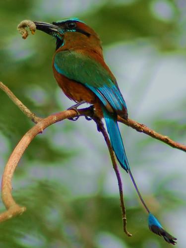 Pajaro Reloj /  Turquoise-browed Motmot