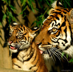 *** Love *** - Soyono and a Cub @ Washington DC / US National Zoo (Nikographer [Jon]) Tags: summer cats love topf25 animal animals topv111 cat zoo cub washingtondc smithsonian dc washington lenstagged big topv555 topv333 nikon bravo child affection tiger mother august 2006 100v10f bigcat nationalzoo cubs soy endangered d200 sumatrantiger nikkor tigris fonz offspring washdc soyono panthera 80400mmf4556dvr natlzoo nikond200 nikographer theworldthroughmyeyes pantheratigrissumatrae washingtondistrictofcolumbia sumatrae nikonstunninggallery specanimal animalkingdomelite abigfave usnationalzoo 8252006 nikographerjon