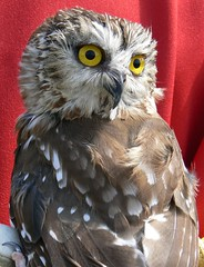 ~Saw-whet Owl - Facing Backwards~ (~Sage~) Tags: red cute green bird birds feathers aves sage owl sawwhetowl specanimal animalkingdomelite top20owl
