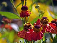 Rudbeckia red (katywoolrich) Tags: flowers red olympus rudbeckia e500 bonza bonzag