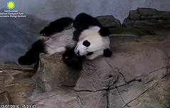Hi fans. Feel free to photoshop some fur on my tummy.   ./sx60.png (heights.18145) Tags: smithsoniansnationalzoo beibei meixiang corner panda bear pandabear cuteanimals bearcubs motheranimals ccncby