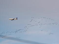 Sandhill Cranes (piano62) Tags: sandhillcranes birds birdmigration chicago stamina amazing inspiring nikond750 tamron150600mm