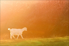 In a dream (ilina s) Tags: light orange sunlight white color cute green nature animal dream peaceful goat flare ilinas cottonsunday