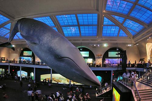 AMNH blue whale
