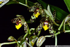 Ansellia africana (Luis_Renato) Tags: humilis australis cymbidium africana gigantea nilotica confusa sandersoni ansellia congoensis