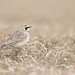 horned lark in grass