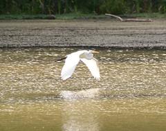 Great egret (Sarah Hina) Tags: white lake bird great flight run egret strouds dow