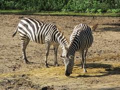 Burgers' Zoo, Arnhem (Stewie1980) Tags: netherlands canon zoo arnhem nederland powershot burgers zebra dierentuin gelderland grantzebra grantszebra sx130 equusquaggaboehmi sx130is canonpowershotsx130is