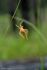 Badge Huntsman shedded exoskeleton (Jenn.1771) Tags: spider bush australia exoskeleton eastgippsland badgehuntsman colquhounforest