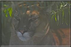 2015.09.28.034 PARIS - Zoo de Vincennes - Puma (alainmichot93 (Bonjour  tous)) Tags: paris france seine ledefrance puma animaux boisdevincennes mammifre flin 2015 zoodevincennes parczoologiquedeparis paris12mearrondissement