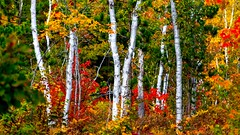 Fall Color (Explore 10-11-2015) (Mi Bob) Tags: color us unitedstates michigan upperpeninsula grandmarais picturedrocks whitebirch upperpeninsulaofmichigan