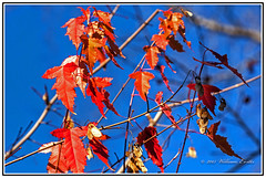 Nature - Tha Last Leaves Before Winter Arrives - The Beautiful Maple Tree. (Bill E2011) Tags: autumn winter red canada fall nature leaves canon maple colours seasons bright display