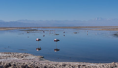 Andean Flamingos at the Laguna Chaxa (Ralph Green) Tags: chile sleeping reflection southamerica flamingo saltlake salardeatacama andesmountains oneleg lagunachaxa andeanflamingo phoenicopterusandinus reservanacionallosflamencos flamencoandino atacamasaltlake
