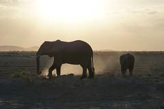 Dust bath at sunset, Amboseli (jozioau) Tags: calf dust backlit sal70400g2 amboseli kenya