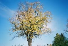 Autumnal (knautia) Tags: uk autumn england tree film bristol olympus ishootfilm xa2 olympusxa2 ocotber 2015 horfield xa2roll173