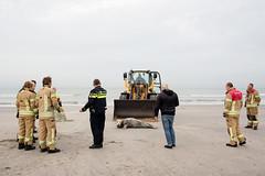 (Peter de Krom) Tags: beach strand herfst zee seal shovel dier zondag kust hoekvanholland hvh aangespoeld zeehond zeehonden vangnet vangen zoogdier lijden reddingsdienst grijzezeehond gedood verlossen verzwakt