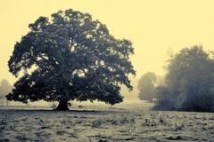 tree, fog and walkers (yann035) Tags: sky people france tree beautiful yellow fog jaune amber fuji great bretagne grand x ciel walker sur fujifilm mm prairie xc 35 effect et arbre beau marcheur champ gens ille pire effet promeneur xm1 vilaine seiche
