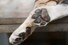 DSC04332 (sylviagreve) Tags: tiger paws 2015 cougarmountainzoo