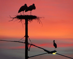 IMG_6946 sunset storks (pinktigger) Tags: italy bird nature animal italia nest outdoor stork lampion cegonha cigea friuli storch ooievaar fagagna cicogne cicogna oasideiquadris feagne