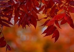 California Autumn Orange (Alvin Harp) Tags: california autumn orange abstract art fall nature colors leaves yellow leaf dof artistic bokeh harp leafs alvin