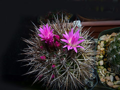 Neoporteria wagenknechtii (nolehace) Tags: sanfrancisco plant flower fall bloom 1015 wagenknechtii neoporteria nolehace fz35