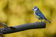 _DSC4961 Pimpelmees mn : Mesange bleue : Parus caeruleus : Blaumeise : Blue Tit