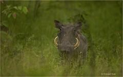 Lord Warthog! (Jambo53 (catching up)) Tags: nature southafrica mammal pig wildlife ngc natuur safari wildzwijn varken warthog tanden teeths zuidafrika zoogdier robertkok jambo53