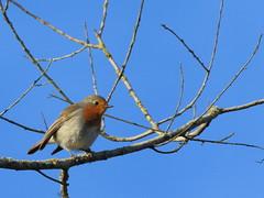 IMG_3810b (micmicmuc) Tags: bird rouge gorge oiseau