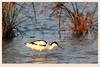 反嘴鷸 Recurvirostra Avosetta (C. Alice) Tags: nature hongkong 2016 canonef300mmf4lisusm canoneos7d eos7d canon 300mm wetland water winter bird favorites50