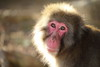 Snow monkey (Teruhide Tomori) Tags: wild japan japon kyoto animal monkey snowmonkey ニホンザル arashiyama iwatayama 野生 動物 京都 日本 嵐山 nature