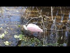 Roseate Spoonbill (Aldene.Gordon) Tags: lettucelakepark florida hillsborough river
