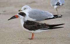 Black Skimmer (Rynchops niger) 12-08-2016 Ocean City Inlet, Worcester Co. MD 5 (Birder20714) Tags: birds maryland terns skimmers laridae sternidae rynchops niger