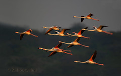 Greater Flamingos (Zahoor-Salmi) Tags: greater flamingos zahoorsalmi salmi wildlife pakistan wwf nature natural canon birds watch animals bbc flickr google discovery chanals tv lens camera 7d mark 2 beutty photo macro action walpapers bhalwal punjab