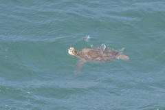 Green sea turtle (boombana) Tags: greenturtle 2016 greenseaturtle turtle reptile cheloniamydas chelonia waddypoint