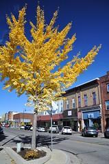 Maidenhair (cmu chem prof) Tags: mountpleasant isabellacounty michigan autumn fallcolor circularpolarizer ginkgo