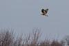 Pole Farm, N.J.: Rough-legged Hawk (donna lynn) Tags: 2016 december nj newjersey birding birds mercercounty nikon d750 nature wildlife raptors hawks polefarm winter roughleggedhawk buteolagopus