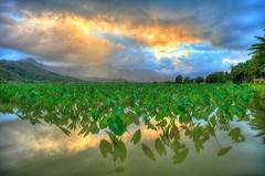 Taro Fields Hanalei (boysoccer3) Tags: landscape nature canon hawaii kauai hanalei