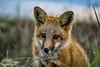 Mr. Fox (WoodlandPixels) Tags: fox pup kit orange black beach dominion